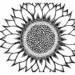sunflower -  Black and White Series